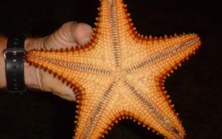 an image of a large bright orange starfish, found on the Belize Desert Island Venture