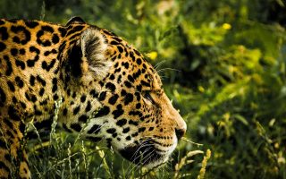 an image of a jaguar in the jungle