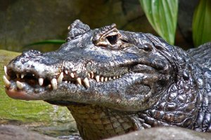 Picture of a black caiman, an animal that may be encountered on a jungle survival course
