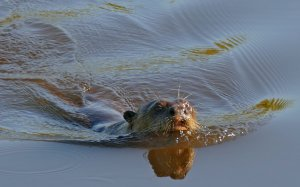 A giant otter swimming through the water