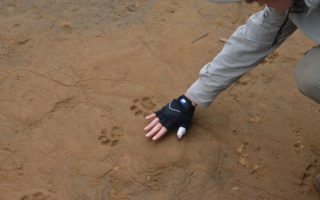 an image of a person comparing their own hand size to paw prints pushed in the ground