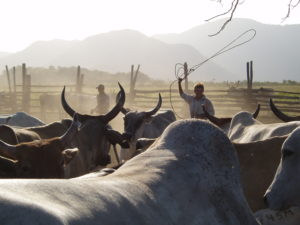an image of animals being herded on the ranch