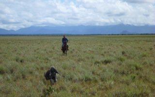 An image of an anteater running through the long grassland of a Guyana ranch