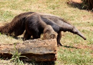 an image of a large anteater in Guyana