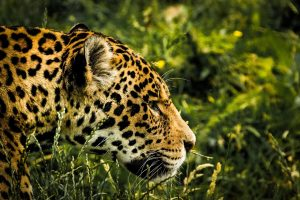 An image of a jaguar in the jungle, walking through the long grass