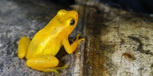 an image of a golden frog