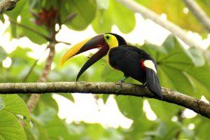 an image of a toucan, an animal of guyana