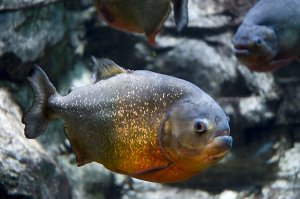 Picture of a piranha, one of the rivers' inhabitants while on a jungle survival trip