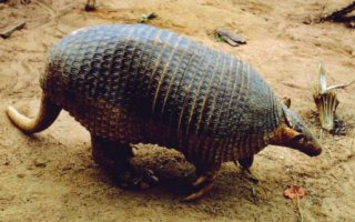 An image of a giant armadillo, one of the creatures that lives in Guyana