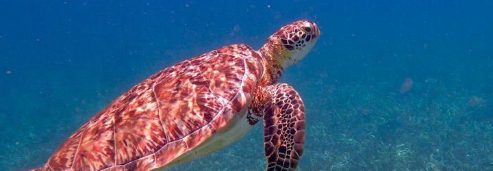 Image of a sea turtle in Belize